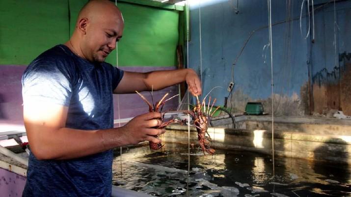 Salah satu debitur BNI Morotai Reagen Sumampouw menampung hasil tangkapan para nelayan lobster di Morotai, Maluku Utara, Selasa (8 Oktober 2019), Foto : (Dok BNI)