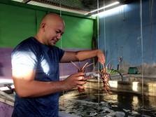 Ekspor Benih Lobster Dilarang, Peraturan Menteri KP Disiapkan