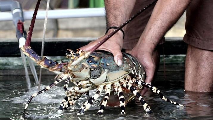 KKP Edhy Prabowo nampaknya bersikukuh meneruskan kebijakan ekspor bibit lobster