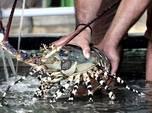 4 Bulan, Edhy Prabowo Loloskan Ekspor Benih Lobster Rp 1 T