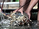 Harap Bersabar! Ekspor Benih Lobster Ternyata Baru Kajian