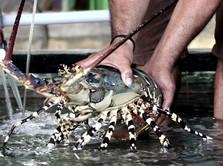 Ekspor Lobster Edhy: Gila Kata Faisal Basri, Didukung Luhut