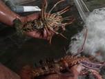 Beda dengan Susi, Ekspor Benih Lobster Disebut Gila dan Mafia
