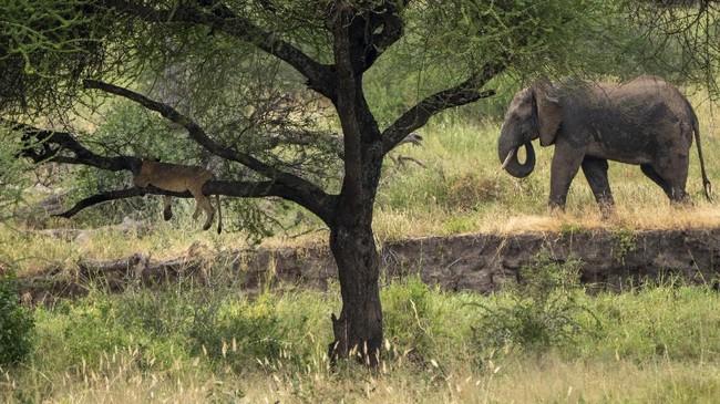 Singa dihormati dalam budaya Maasai. Siapa pun yang menyakiti lebih dari sembilan ekor bakal dikutuk. (AP Photo/Jerome Delay)