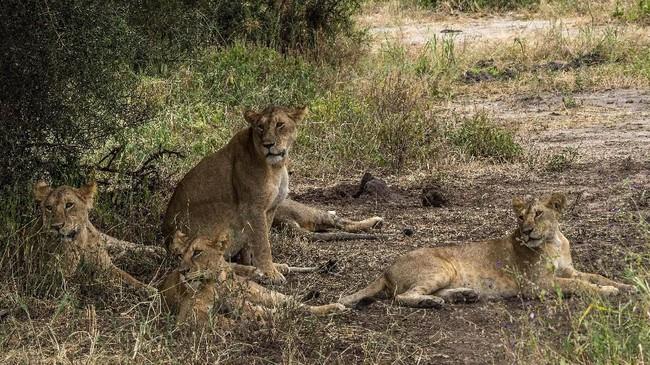 Tanzania adalah rumah bagi lebih dari sepertiga dari sekitar 22.500 singa Afrika yang tersisa, menurut data dari para peneliti di University of Oxford. (AP Photo/Jerome Delay)