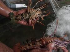 Duh, Bibit Lobster RI Masih Jadi Incaran Para Penyelundup