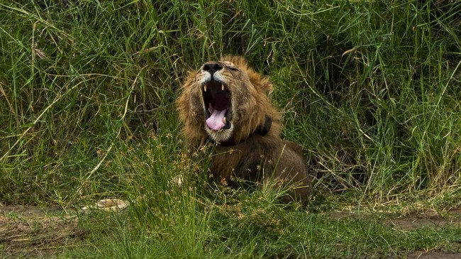 Alasan terbesar untuk berkurangnya populasi singa di Afrika adalah bahwa bekas padang rumput mereka dikonversi menjadi lahan pertanian dan kota. (AP Photo/Jerome Delay)