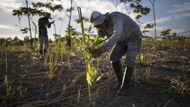 Sebuah studi terbaru di jurnal Science memproyeksikan sekitar 0,9-2,2 miliar hektare pohon baru ditanam dengan 500 miliar anakan untuk menyerap 205-220 gigaton karbon.(AP Photo/Rodrigo Abd)