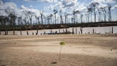 Kini, hutan di Madre de Dios telah berubah tandus dan kering dengan dikelilingi batang-batang pohon mati.(AP Photo/Rodrigo Abd)