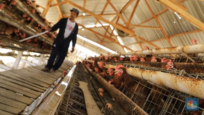 Peternak mendesak ada pemangkasan kuota impor GPS atau induk dari indukan ayam.