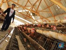 RI Impor Bibit Induk Ayam Tak Terkendali, Peternak Resah