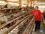 Harga Ayam Sering Anjlok, DOC dan Pakan akan Diatur
