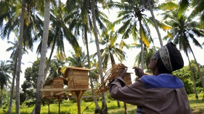 Selama tiga bulan pertama, beruk akan dikenalkan makanan khusus mereka seperti gula aren, susu, nasi, dan sayur-sayuran. Tiga bulan berikutnya barulah beruk diperkenalkan dengan cara memetik buah kelapa secara bertahap. (ANTARA FOTO/Iggoy el Fitra)