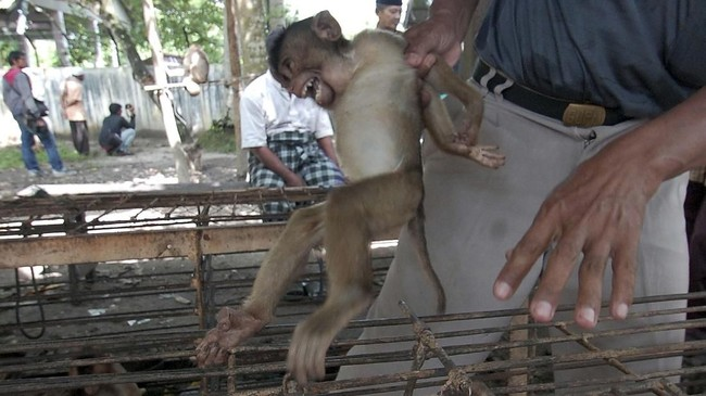 Keberadaan hewan primata, beruk (Macaca Nemestrina) di kawasan Pariaman, Sumatera Barat, umum dijumpai telah berubah peran dari hewan liar manjadi hewan terlatih pemetik kelapa ulung. (ANTARA FOTO/Iggoy el Fitra)