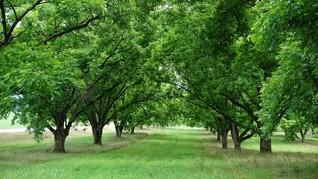377 Pohon Dipindah Karena Pembangunan Flyover Purwosari