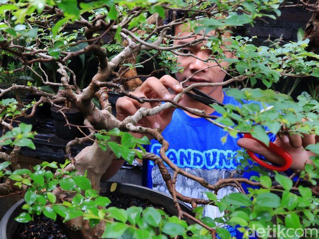 Melihat Budidaya Tanaman Bonsai di Tengah Kota Bandung