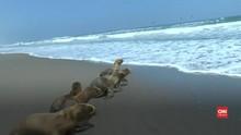 VIDEO: Enam Singa Laut Dilepaskan di Laut Peru