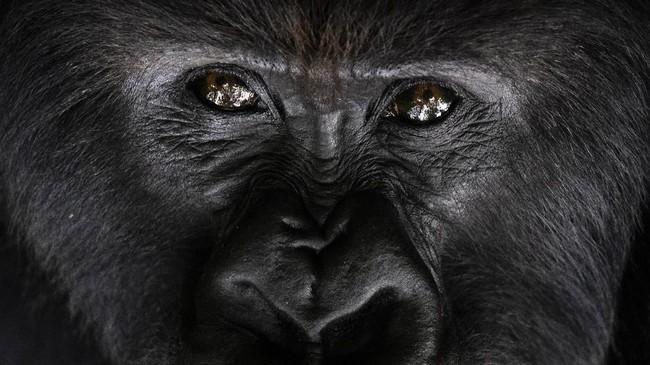 FOTO: Upaya Menyelamatkan Gorila dari Kepunahan