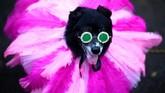 Seekor anjing yang didandani kostum mirip Rihanna menghadiri parade anjing di alun-alun Tompkis di New York City. (Photo by Johannes EISELE / AFP)