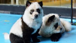 'Modifikasi' Anjing Jadi Mirip Panda, Kafe di China Dikritik