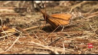 VIDEO: Jutaan Kupu-kupu Raja Bermigrasi Ke Meksiko
