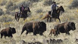 FOTO: Tradisi Tahunan Pengumpulan Bison di Utah