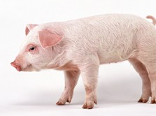 Teror Flu Babi, Amit-Amit RI Senasib Seperti China