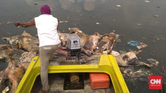 Polisi Segera Proses Pelaku Usaha Pembuang Bangkai Babi