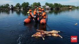 Bau Bangkai Ratusan Babi Menyengat di Danau Siombak Medan