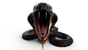 King Kobra Bisa Matikan Orang Dewasa dalam Hitungan Menit