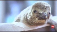 VIDEO: Bayi Penguin Humboldt Menetas di Republik Ceko