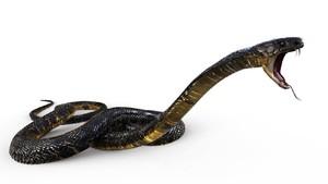 Tips agar Rumah Bebas dari Ular Kobra Saat Musim Hujan