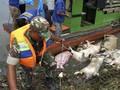 FOTO: Bangkai Babi Terpapar Kolera Berserakan di Sumut