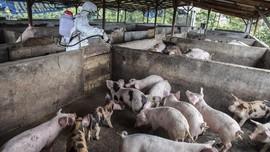 Mentan Isolasi Daerah Terjangkit Virus Kolera Babi