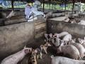 Krisis Babi di China Usai, Harga Daging Turun