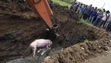 61 Peternak Sumut Diduga Buang Ratusan Bangkai Babi ke Sungai