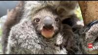 VIDEO: Bayi Koala Lahir Usai Penantian Delapan Tahun