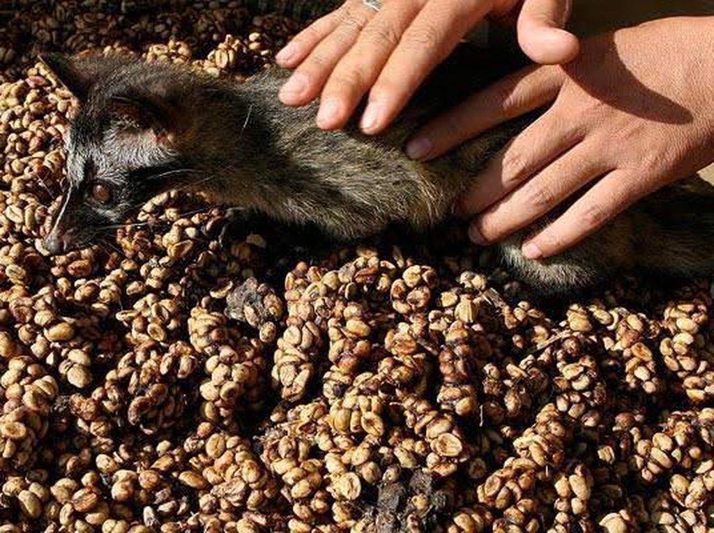 Proses Pembuatan Kopi Luwak, Kopi Termahal di Dunia yang Penuh Kontra