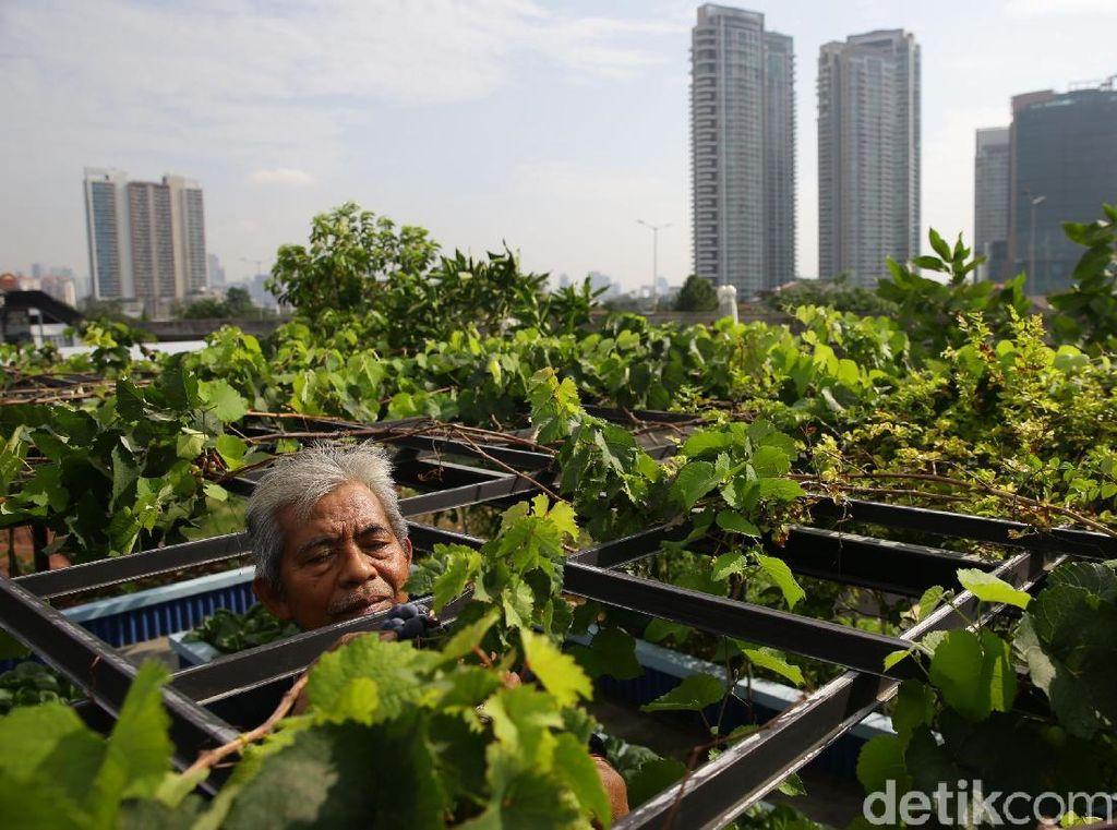 Selain untuk dinikmati sendiri, konsep urban farming ini pun membuat suasana asri.
