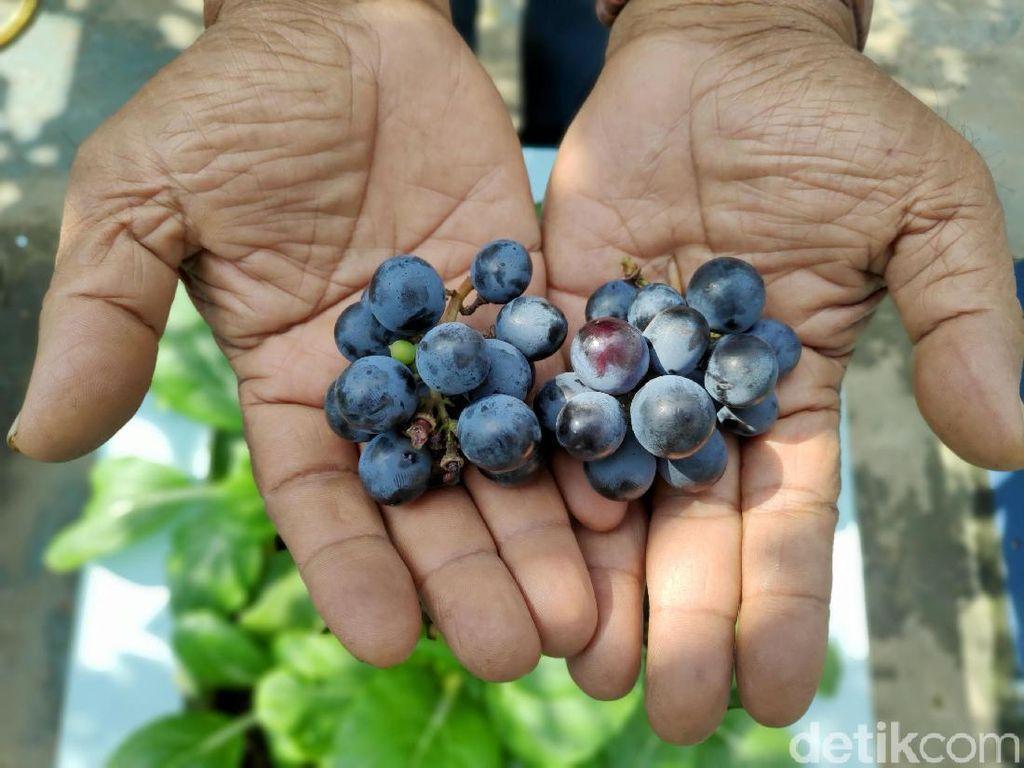 Mulai dari buah-buahan seperti anggur ditaman Abdul.