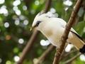'Mengasuh' Burung Jalak Bali di Taman Nasional Bali Barat