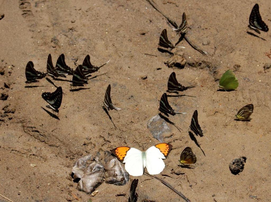 Berbagai spesies kupu-kupu terlihat di kawasan Taman Nasional Bantimurung Bulusaraung (TN Babul) di Maros, Sulawesi Selatan, Sabtu (16/11/2019). ANTARA FOTO/Arnas Padda.