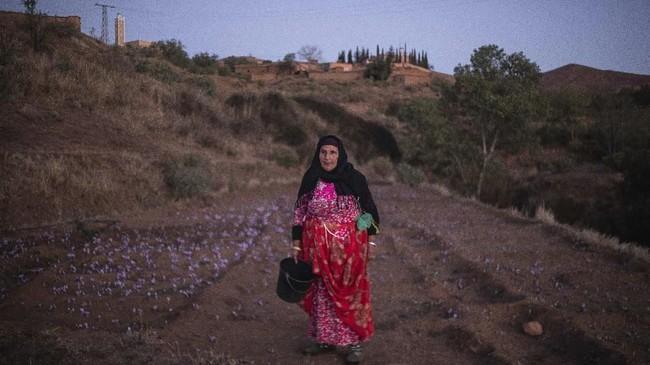 Bunga-bunga yang telah dipetik lalu di bawa ke rumah para petani. Tiap anggota keluarga saling membantu untuk memetik tangkai putik berwarna merah yang kemudian dikenal dengan safron. (AP Photo/Mosa'ab Elshamy)