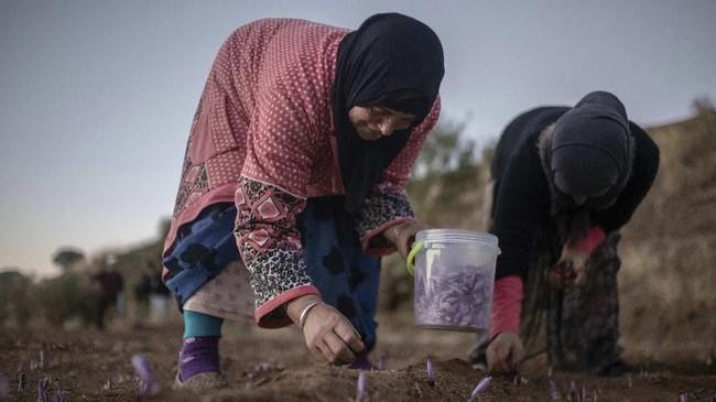 Safron hanya tumbuh subur di lokasi tertentu di bumi. Maroko adalah salah satu dari lima produsen safron terbesar dengan jumlah produksi mencapai 6,8 ton per tahun. (AP Photo/Mosa'ab Elshamy)