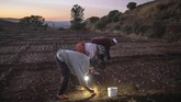 Penduduk desa Askaoun bertarung dengan dingin demi memetik bunga safron setiap fajar selama musim panen. Namun, sebuah obrolan kecil, nyanyian, dan kebersamaan mampu memercikkan kehangatan. (AP Photo/Mosa'ab Elshamy)