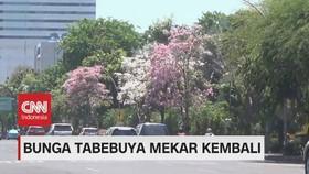 VIDEO: Bunga Tabebuya Mekar, Surabaya Seperti Kota di Jepang