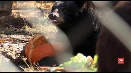 VIDEO: Jelang Musim Dingin, Beruang Masuki Masa Hibernasi