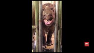 VIDEO: Nasib Badak Sumatera Terakhir di Malaysia
