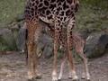 VIDEO: Kebun Binatang AS Sambut Kelahiran Bayi Jerapah