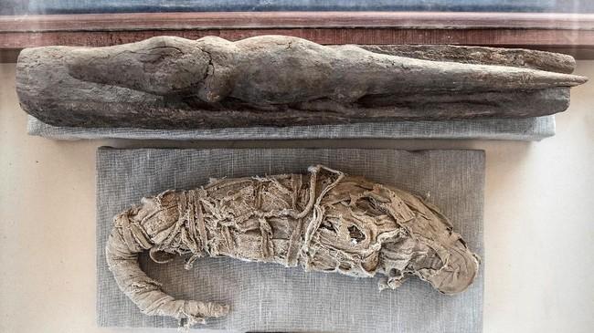 Mumi buaya ditampilkan setelah pengumuman penemuan baru yang dilakukan oleh tim arkeologi Mesir di Saqqara necropolis Giza, Kairo. (Photo by Khaled DESOUKI / AFP)